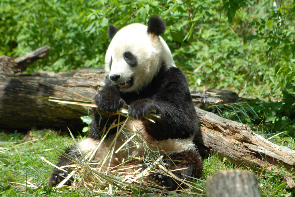 Panda at the National Zoo